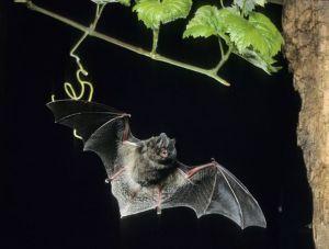 A Bat Haiku